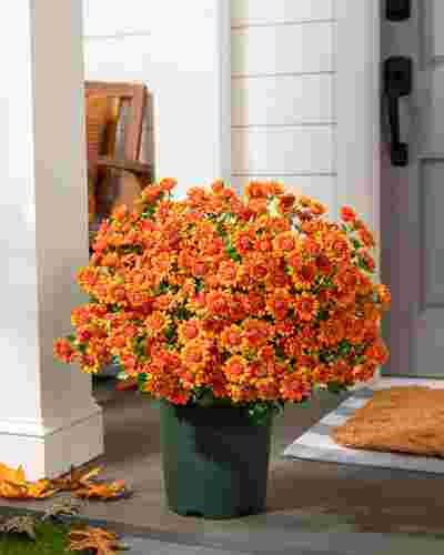 24in Outdoor Orange Potted Mums SSC by Balsam Hill