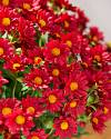 24in Outdoor Red Potted Mums Closeup 10 by Balsam Hill