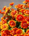 24in Outdoor Orange Potted Mums Closeup 30 by Balsam Hill